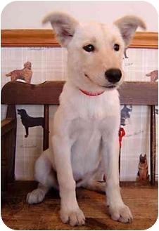 Labrador Retriever Mix Puppy for adoption in Overland Park, Kansas - Mindy