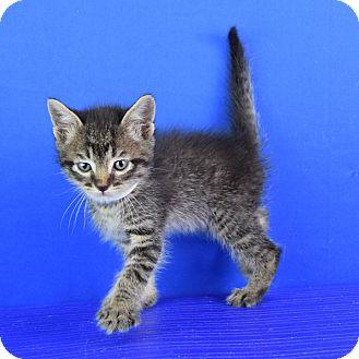 Domestic Shorthair Kitten for adoption in Carencro, Louisiana - Horton
