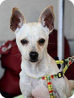 Chihuahua Mix Puppy for adoption in Vista, California - Stark