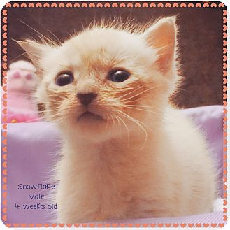 Domestic Shorthair Kitten for adoption in Palisades Park, New Jersey - Snowflake