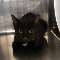 Adopt A Pet :: Sable - Geneseo, IL