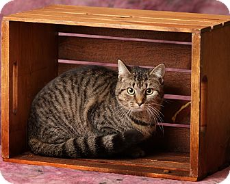 Domestic Shorthair Cat for adoption in Harrisonburg, Virginia - Miss Meowzer
