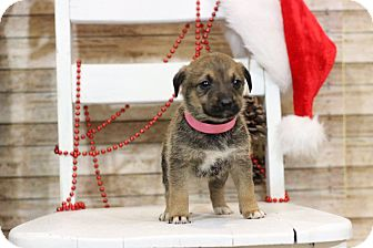 Australian Shepherd Mix Puppy for adoption in Waldorf, Maryland - Comet