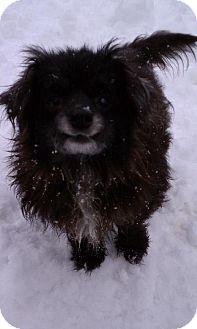 Pomeranian/Poodle (Miniature) Mix Dog for adoption in Walnutport, Pennsylvania - Mr Peabody
