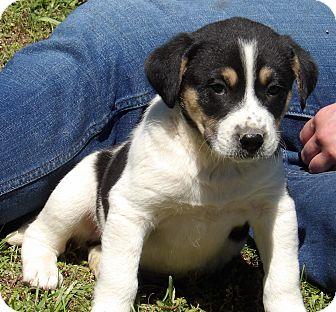 Akita/Australian Shepherd Mix Puppy for adoption in Williamsport, Maryland - Pluto (6 lb) Video!
