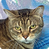 Adopt A Pet :: Mr. Kitty - Englewood, FL