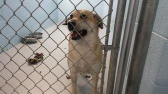 Labrador Retriever/Husky Mix Dog for adoption in Muskegon, Michigan - Bella