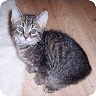 Domestic Shorthair Kitten for adoption in Medina, Ohio - Zack