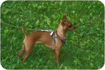 Chihuahua/Miniature Pinscher Mix Dog for adoption in Rigaud, Quebec - Harley