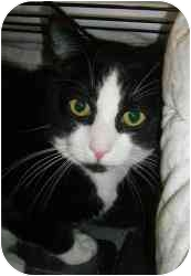 Domestic Shorthair Cat for adoption in Strathmore, Alberta - Icicle