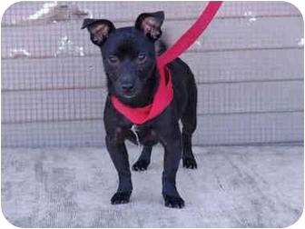 Dachshund/Miniature Pinscher Mix Dog for adoption in Los Angeles, California - Holmes