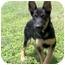Photo 3 - German Shepherd Dog Puppy for adoption in Dripping Springs, Texas - Diesel