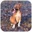 Photo 2 - Basenji/Shepherd (Unknown Type) Mix Dog for adoption in Tyler, Texas - AA-Oliver