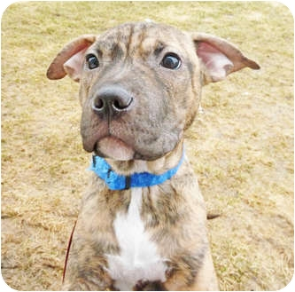 Shar Pei/Terrier (Unknown Type, Medium) Mix Puppy for adoption in Detroit, Michigan - Leah-Adopted!