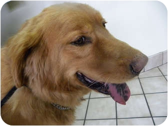 Golden Retriever Mix Dog for adoption in Salem, New Hampshire - Chief