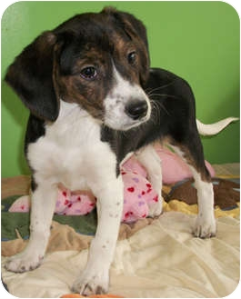 Beagle/Basset Hound Mix Puppy for adoption in Struthers, Ohio - Forrest