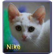 Domestic Shorthair Kitten for adoption in Aldie, Virginia - Nike