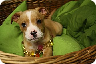 Boxer Mix Puppy for adoption in Homewood, Alabama - Francesca