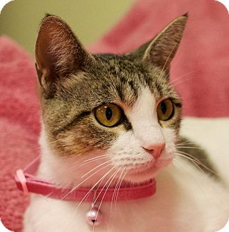Domestic Shorthair Cat for adoption in Houston, Texas - Tobi (striped tabby on white)