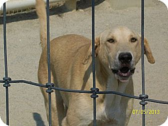 Labrador Retriever Mix Dog for adoption in Mexia, Texas - Harper