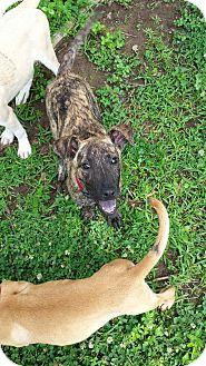 Whippet Mix Puppy for adoption in Groton, Massachusetts - Lulu
