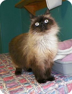 Himalayan Cat for adoption in Dover, Ohio - Holly