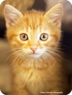 Domestic Shorthair Kitten for adoption in Knoxville, Tennessee - Larry