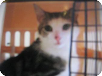 Domestic Shorthair Cat for adoption in New york, New York - Push