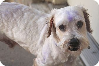 Schnauzer (Miniature) Mix Dog for adoption in Norwalk, Connecticut - Harry Blue