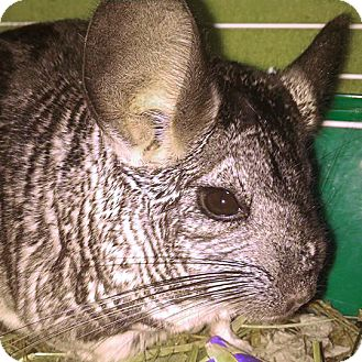 Chinchilla for adoption in Lindenhurst, New York - Ding-Dong