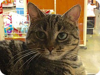 Domestic Shorthair Cat for adoption in Statesville, North Carolina - Kami