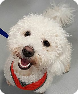 Bichon Frise Mix Dog for adoption in Cranford, New Jersey - Teddy