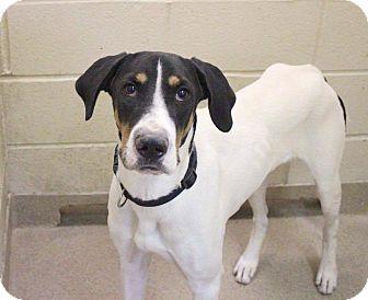 Treeing Walker Coonhound Mix Dog for adoption in Williamsburg, Virginia - Clayton