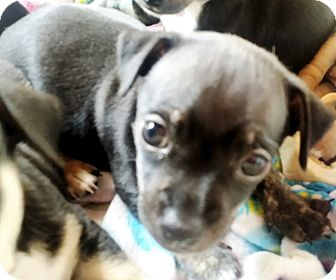 Chihuahua/Dachshund Mix Puppy for adoption in Palatine, Illinois - Benny (Benjamin Button)
