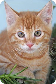 Domestic Shorthair Kitten for adoption in Yuba City, California - Simba