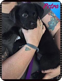 Labrador Retriever Mix Puppy for adoption in Ahoskie, North Carolina - Petra