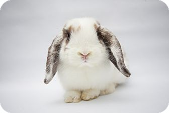 Lop, Holland Mix for adoption in Los Angeles, California - Tapioca