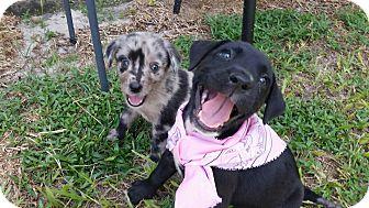 Flat-Coated Retriever/Labrador Retriever Mix Puppy for adoption in Weeki Wachee, Florida - Tink