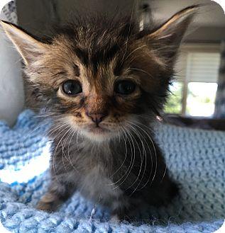 Domestic Shorthair Kitten for adoption in Wayne, New Jersey - Jingle