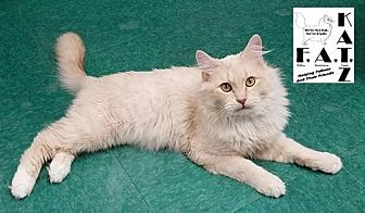 Domestic Longhair Cat for adoption in Albuquerque, New Mexico - Callan