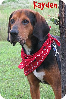Black and Tan Coonhound Mix Dog for adoption in Menomonie, Wisconsin - Kayden
