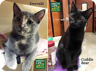 Domestic Shorthair Kitten for adoption in Oakville, Ontario - Cuddle Bear & Emerald