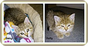 Domestic Shorthair Kitten for adoption in New Richmond,, Wisconsin - Daisy