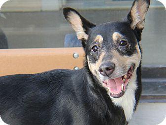 Shepherd (Unknown Type)/Mixed Breed (Medium) Mix Dog for adoption in Philadelphia, Pennsylvania - Dakota