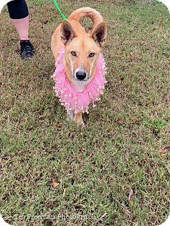 Welsh Corgi Mix Dog for adoption in Muldrow, Oklahoma - Gwendolyn