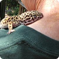 Adopt A Pet :: Leo(Leopard Gecko) - Christmas, FL