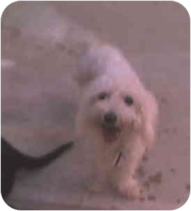 Poodle (Toy or Tea Cup) Dog for adoption in Harbor City, California - Curly