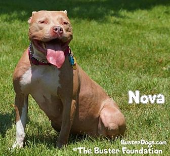 American Pit Bull Terrier Dog for adoption in Belleville, Michigan - Nova (FOSTER NEEDED)