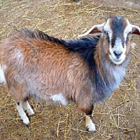 Adopt A Pet :: BOWSER - Union, MO