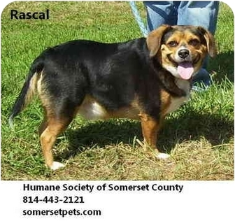 Beagle Mix Dog for adoption in Somerset, Pennsylvania - Rascal